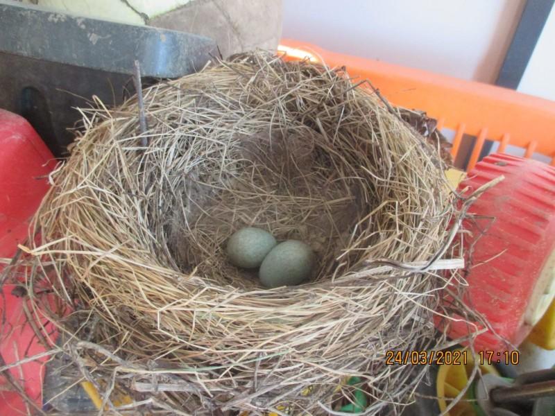 Amseleier im Nest